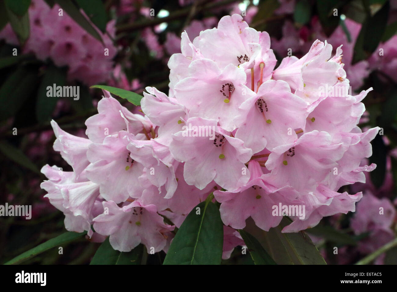 Rhododendron Argyrophyllum pink - Stock Image