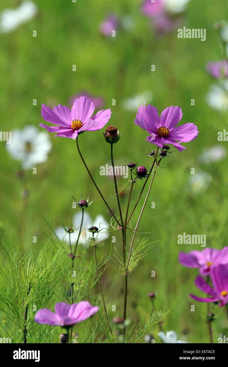 Cosmos flowers - Stock Image