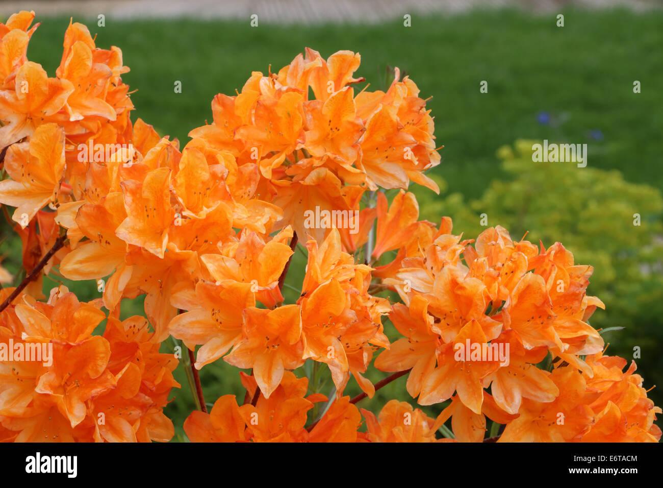 Azaleas tangerine orange - Stock Image