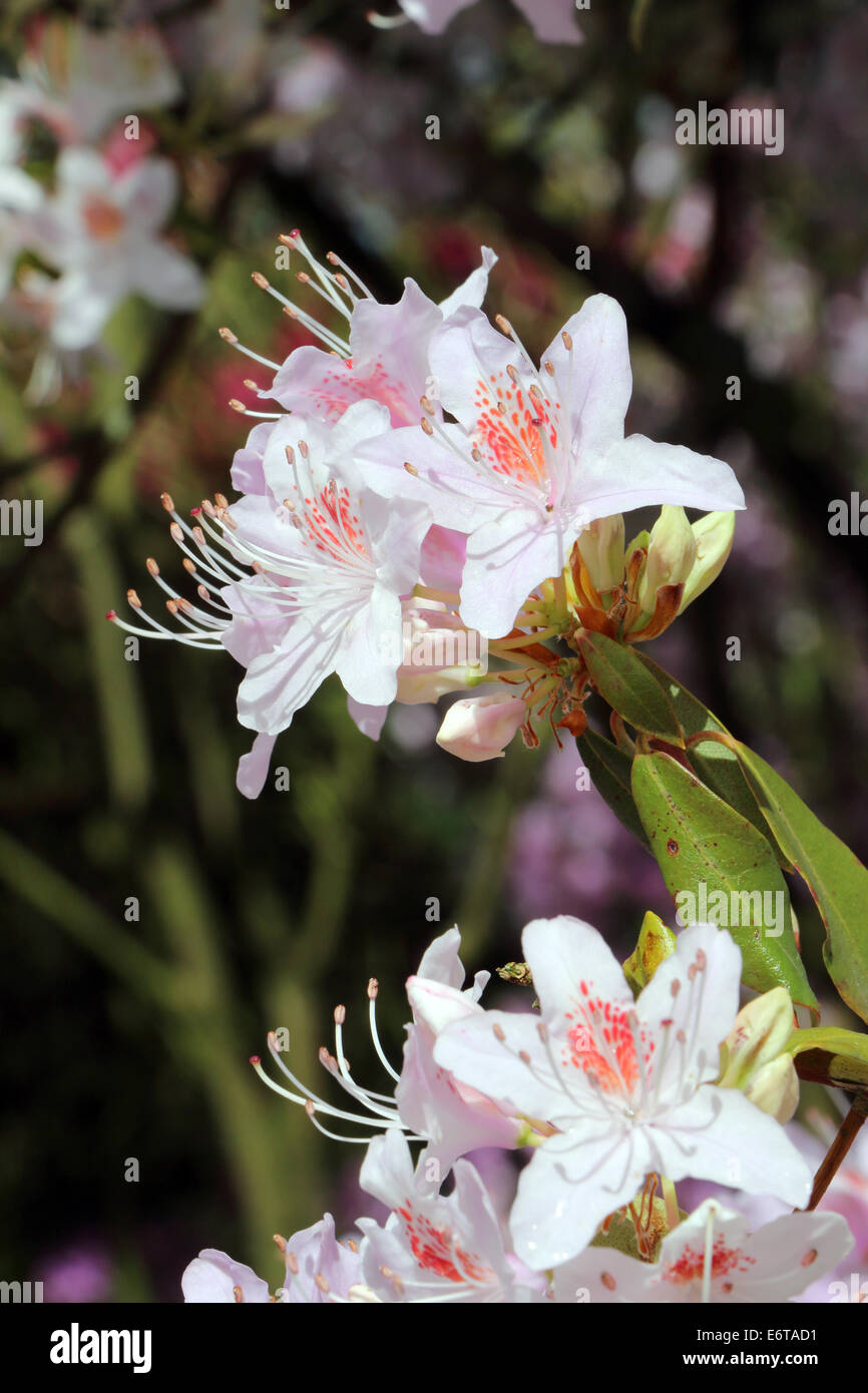 Rhododendron Yunnanense Flower detail - Stock Image