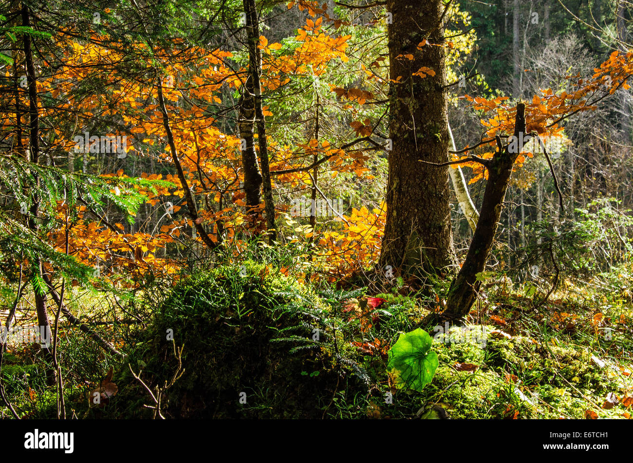 orest in an Alpine valley autumn nature left untouched - Stock Image