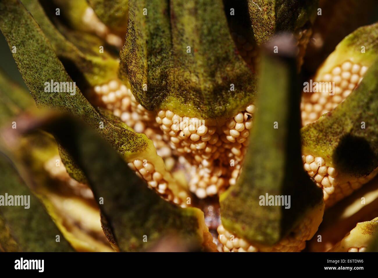 Close up of open scales of a male encephalartos cycad cone showing pollen sacs - Stock Image