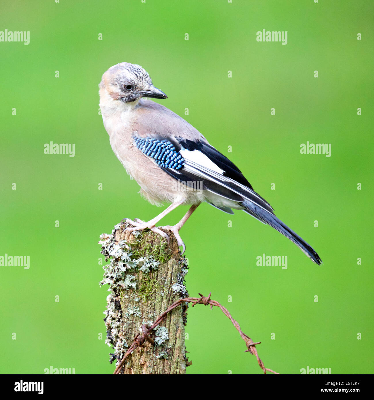 The majestic Jay perched on the old fence post #3364 - Stock Image