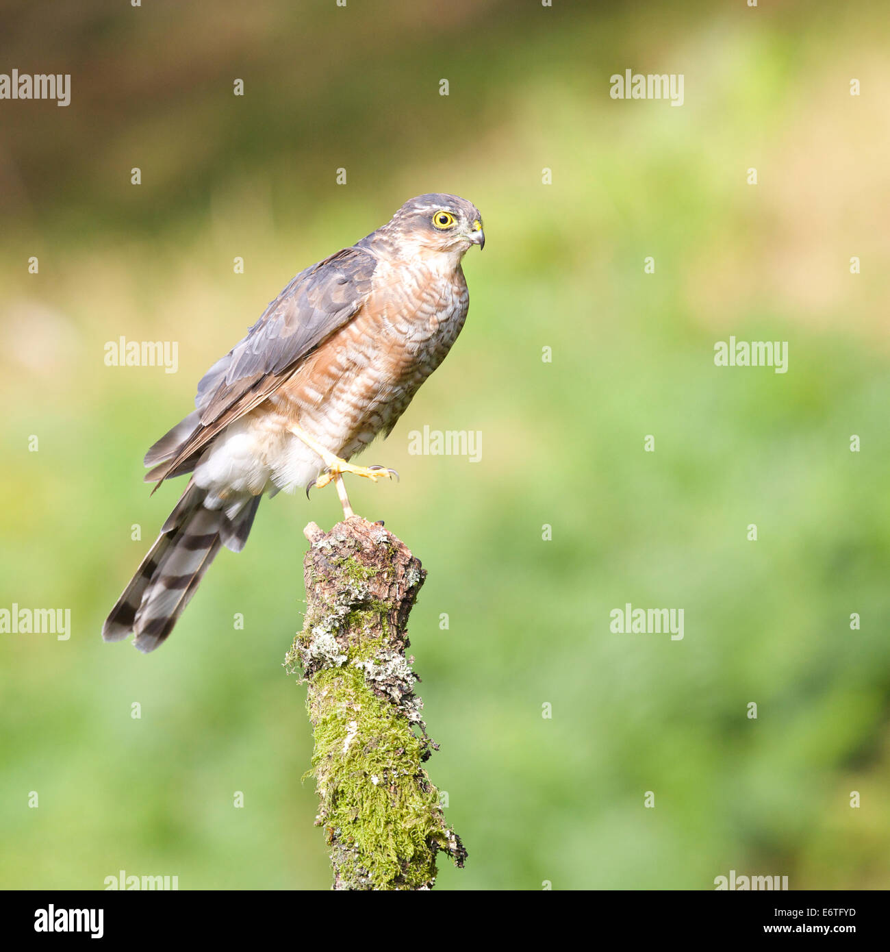Sparrowhawk stretches its talons in readiness for another strike on some unsuspecting prey #3354 - Stock Image