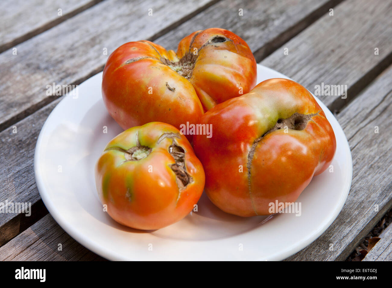 Zippering damaged tomatoes on dish - USA - Stock Image