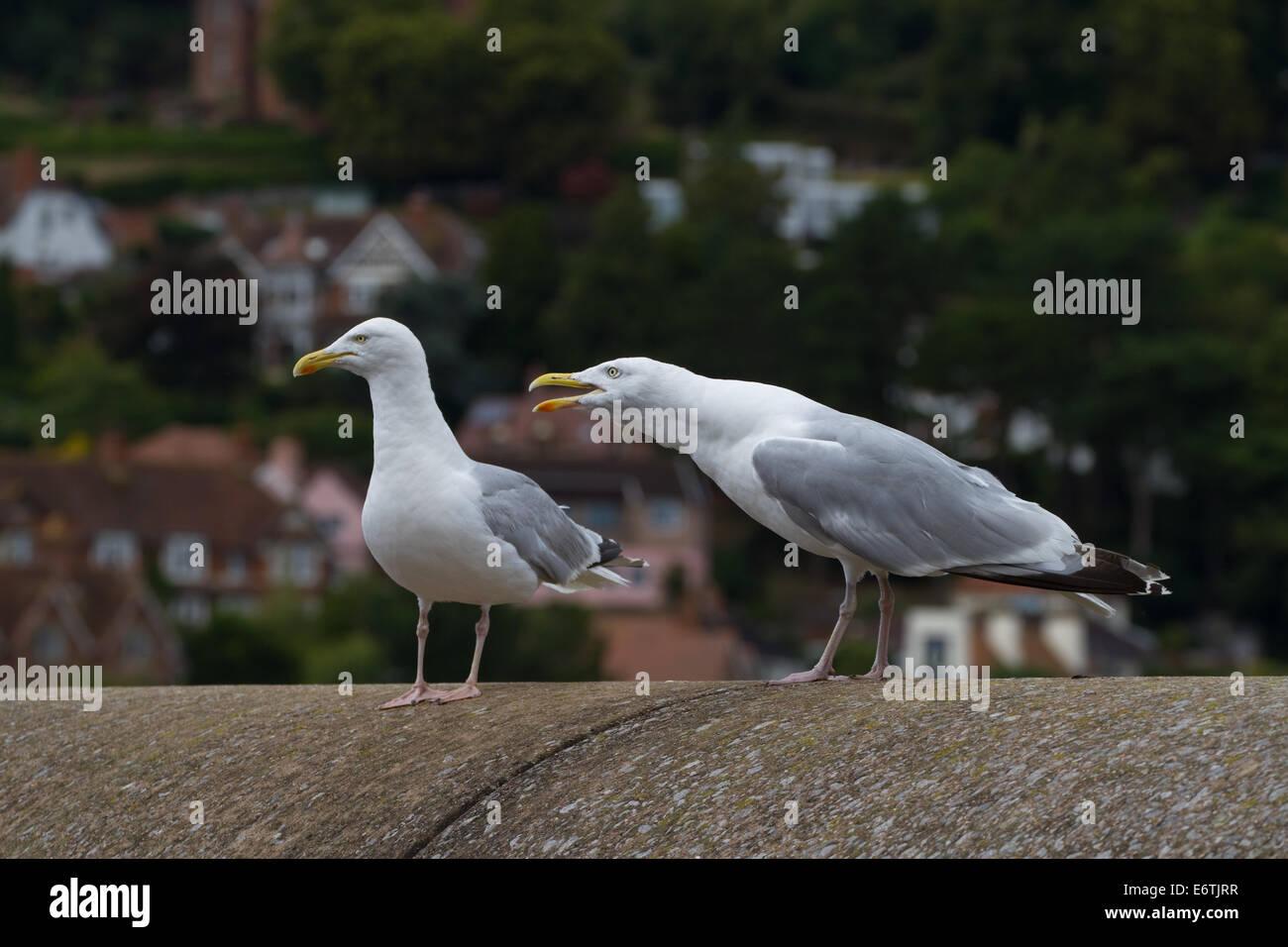 Herring Gulls on keyside. Minehead - Stock Image