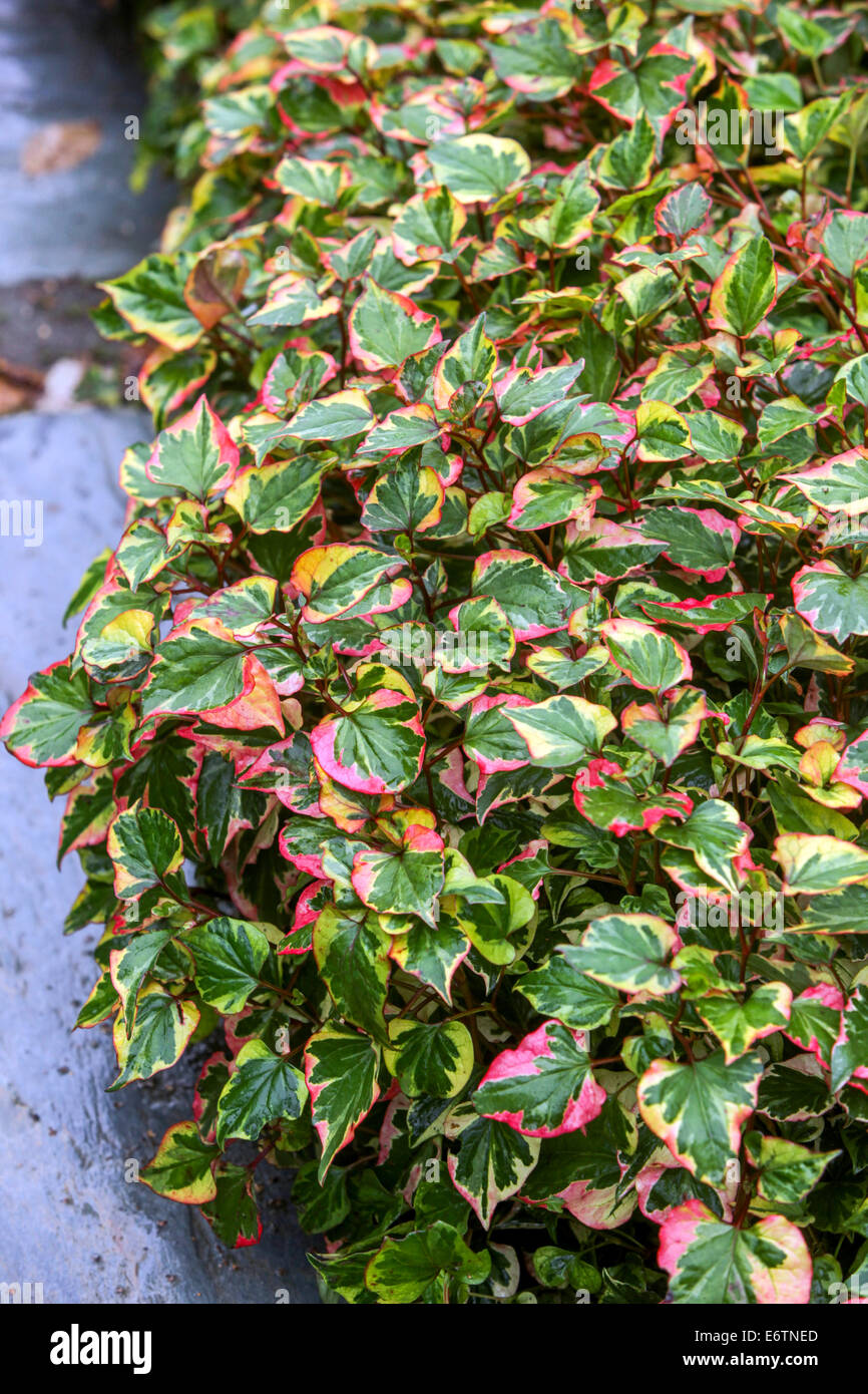 Houttuynia Cordata Perennial Flowers In The Shade Stock Photo