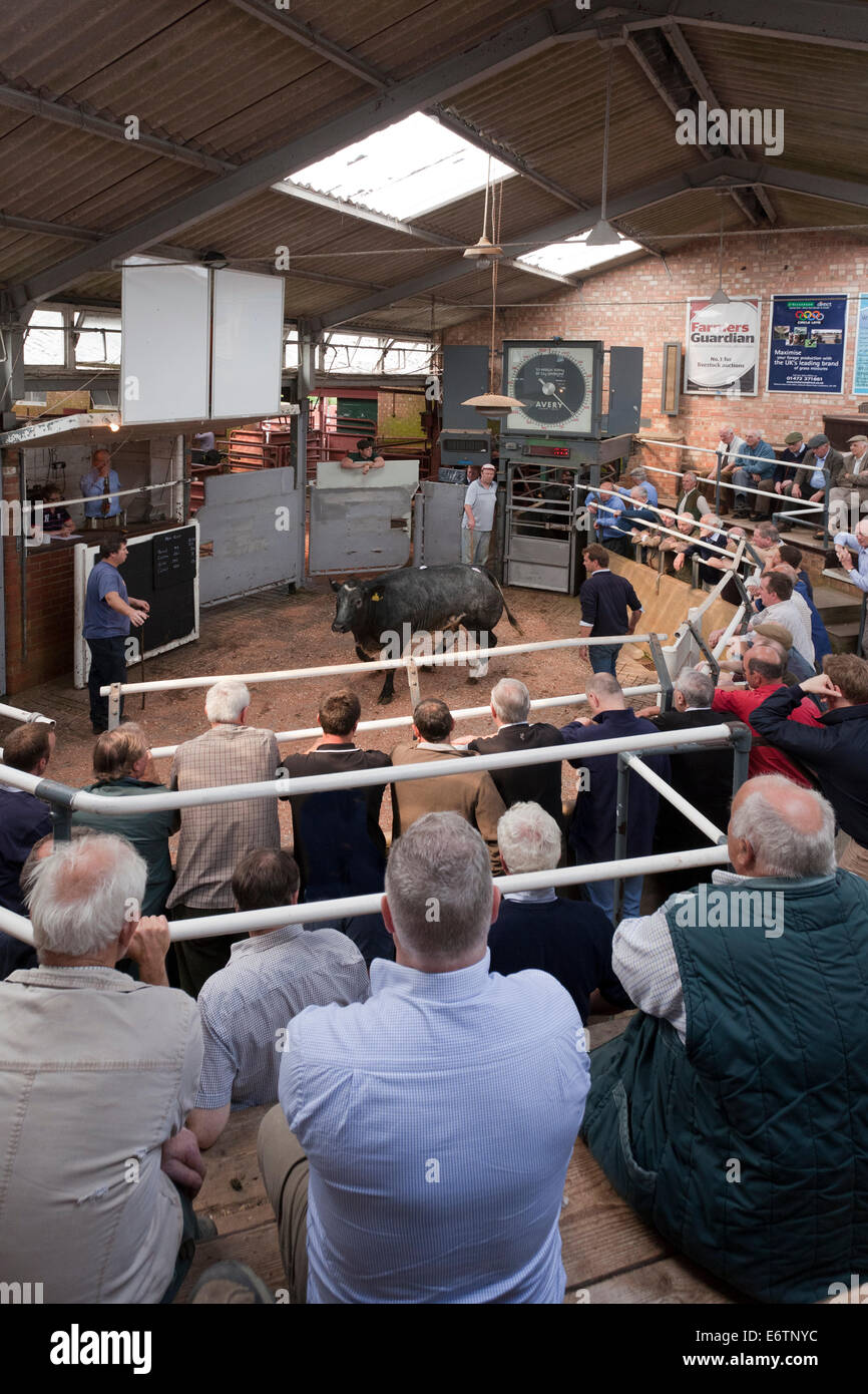 Cattle Auction Selling Stock Photos & Cattle Auction Selling