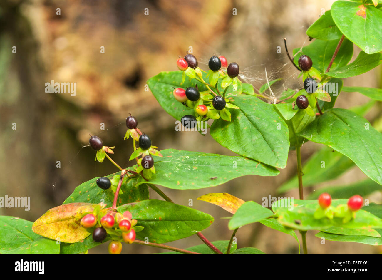 Deadly Nightshade Plant Stock Photos Deadly Nightshade Plant