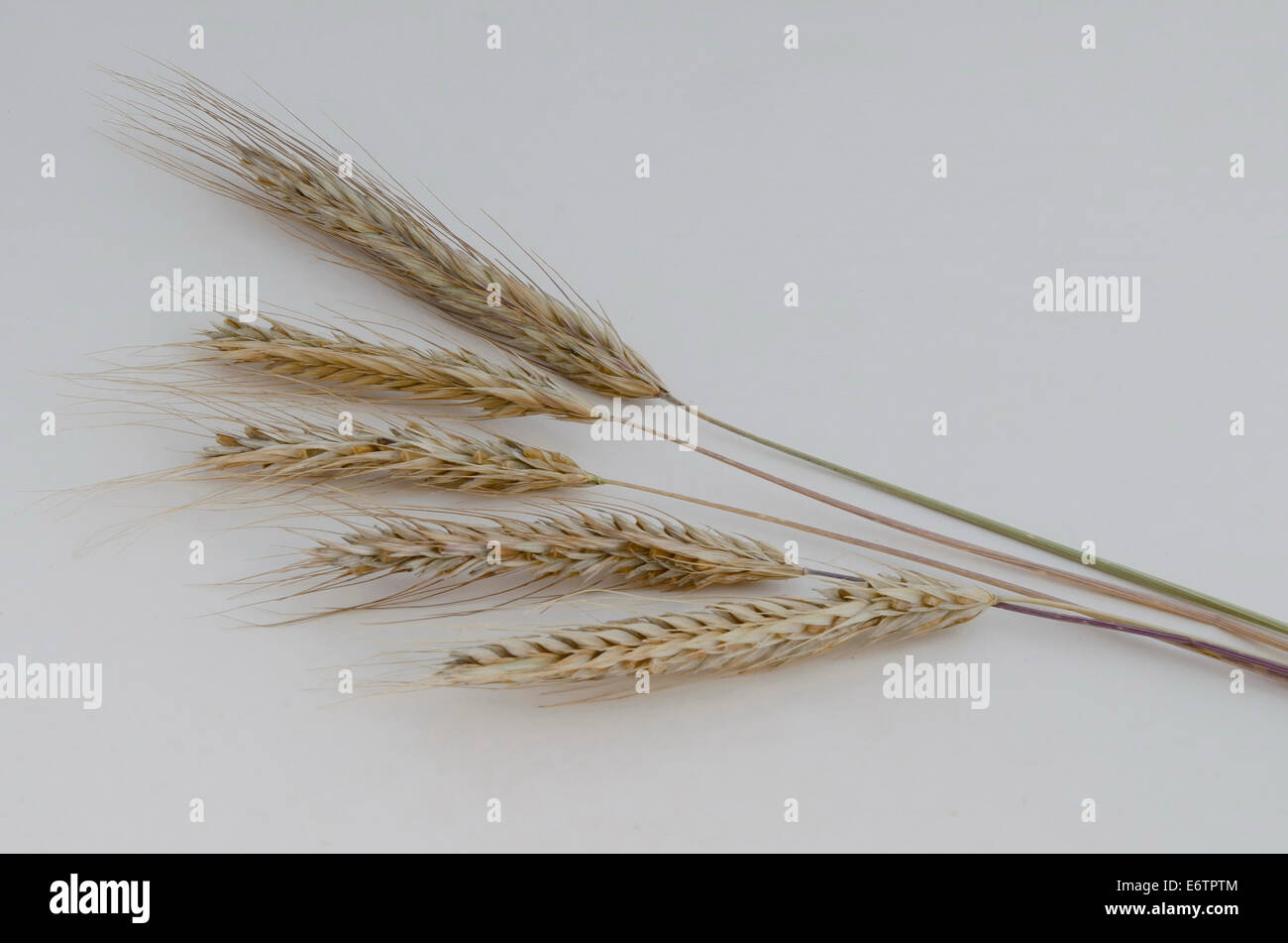 Photo close up of ear wheat  with ripe grain. - Stock Image