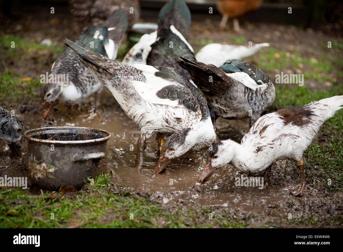 Farm ducks sip mud - Stock Image