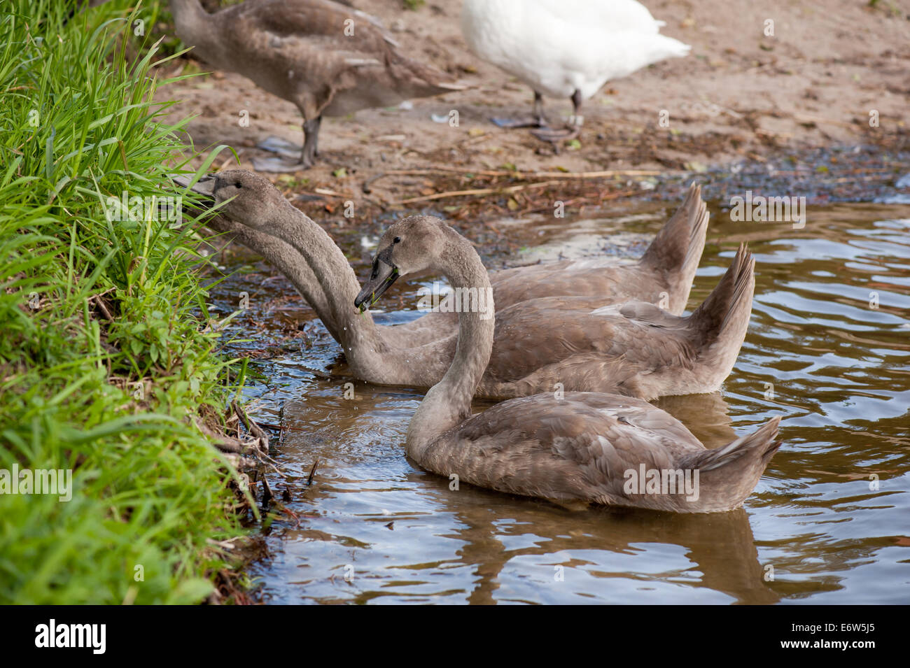 Bevy Of Swans S...