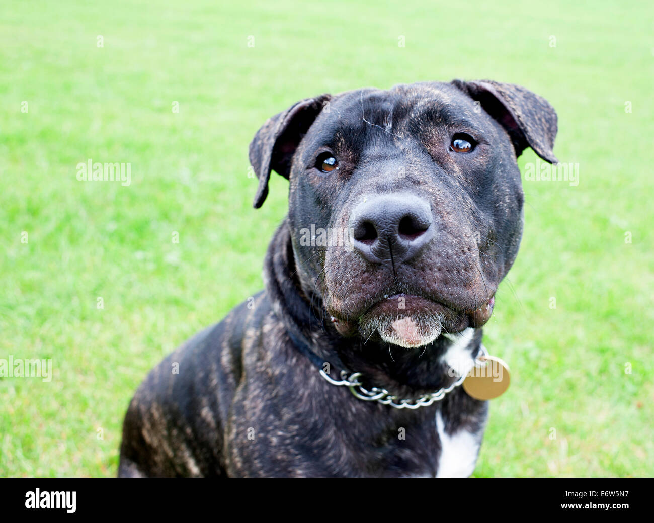 Beautiful English Staffordshire Bull Terrier posing for the camera in a London park. - Stock Image