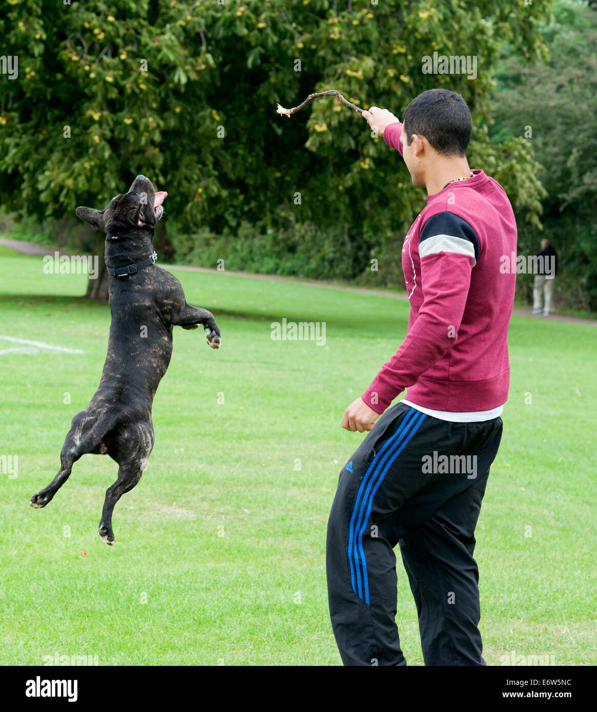 staffie staffy dog plays with a young man and a stick on the grass in a London park. - Stock Image