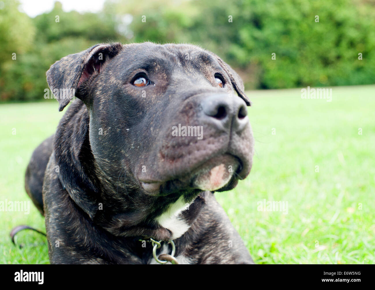 Beautiful English Staffordshire Bull Terrier resting in a London park. - Stock Image