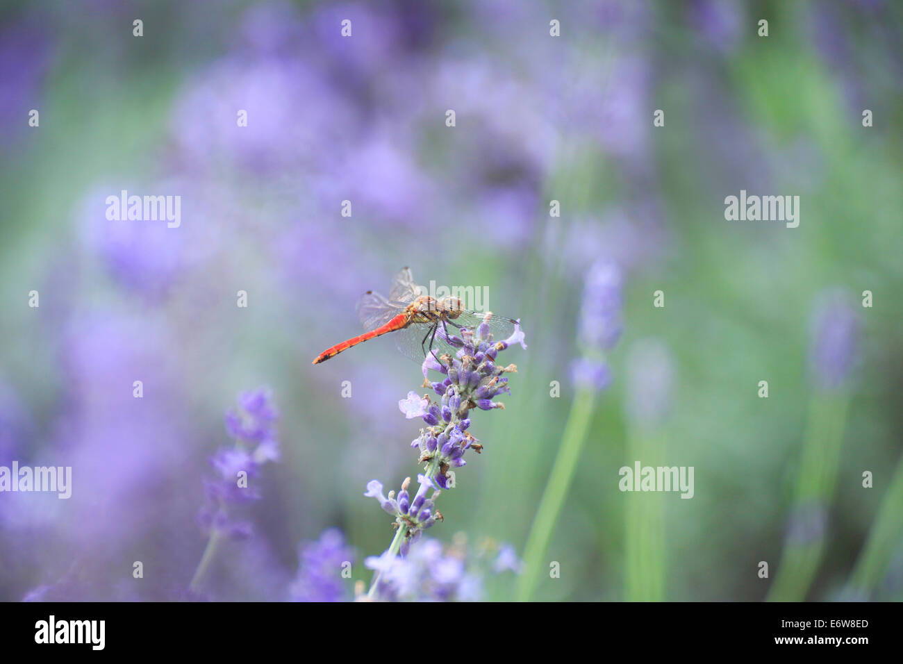 Beautiful lavender flowers and dragonfly stock photo 73084885 alamy beautiful lavender flowers and dragonfly izmirmasajfo