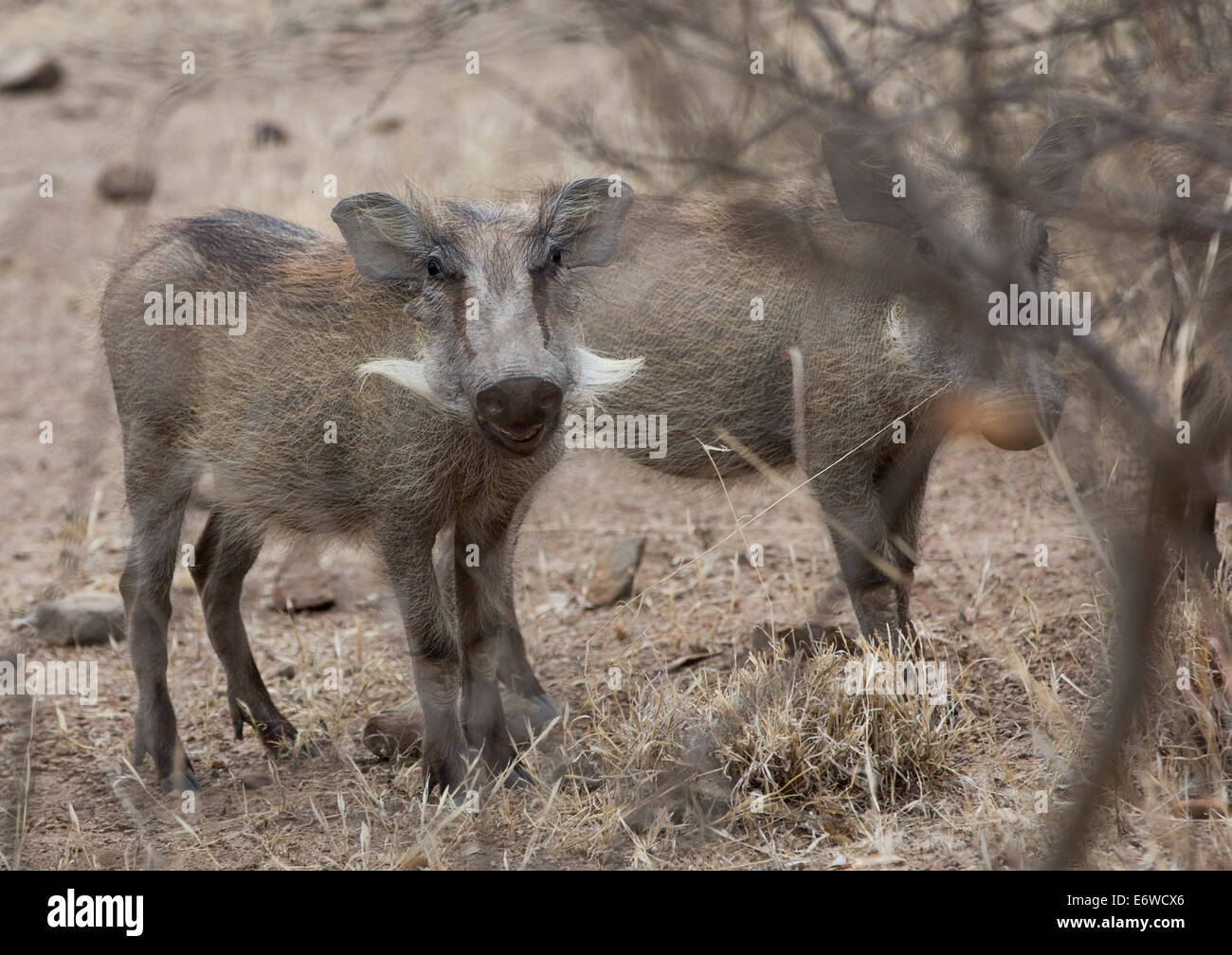 A Group Of Warthogs, Phacochoerus Aethiopicus, In Awash Park, Ethiopia - Stock Image