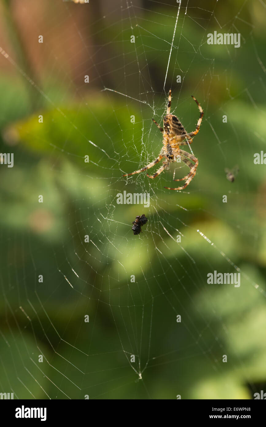 Common garden spider on web with caught fly on web trapped in the spiders net - Stock Image