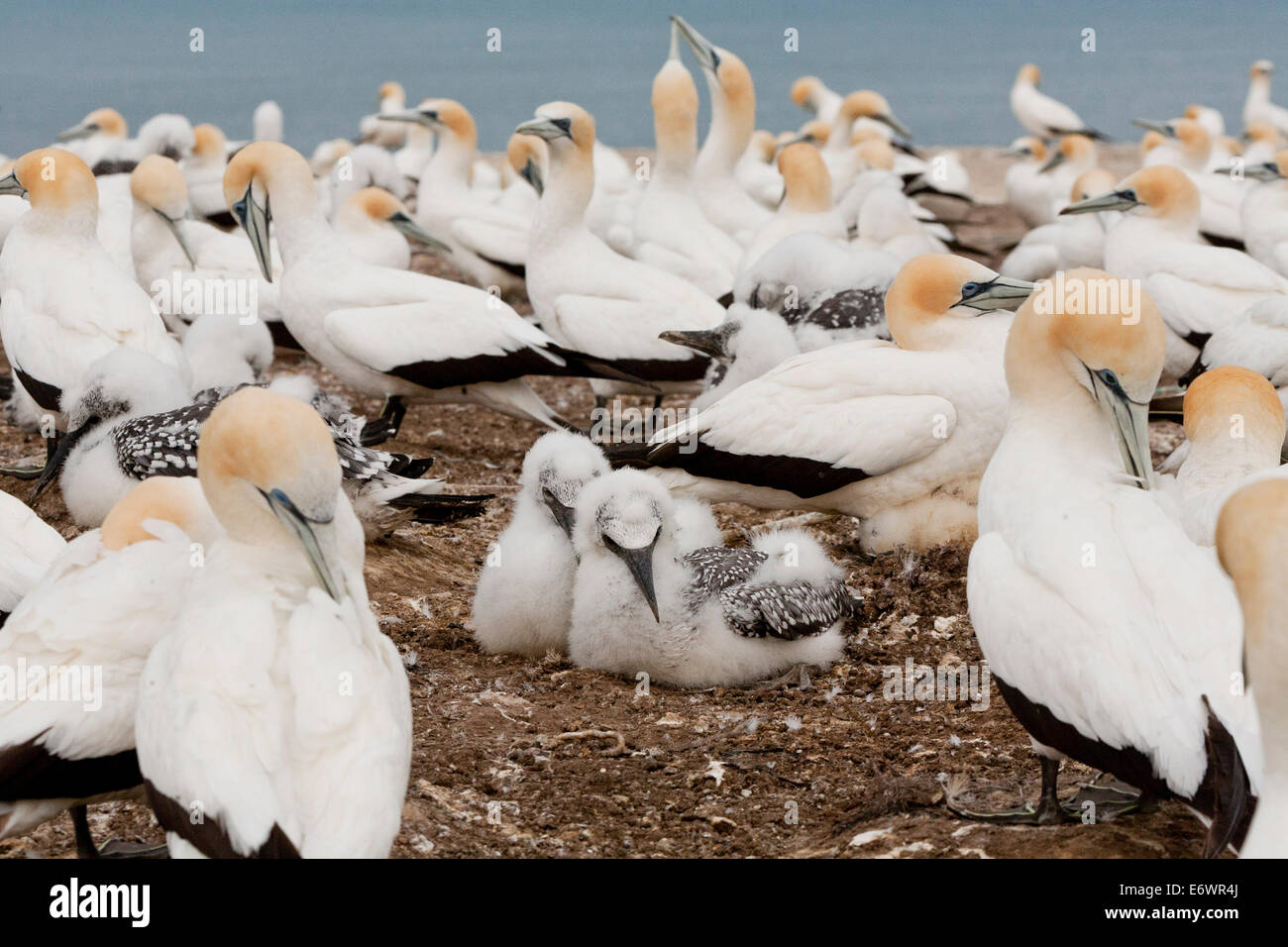 Breeding colony of Australiasian Gannets, Morus serrator at Cape Kidnappers Gannet Reserve, North Island, New Zealand - Stock Image