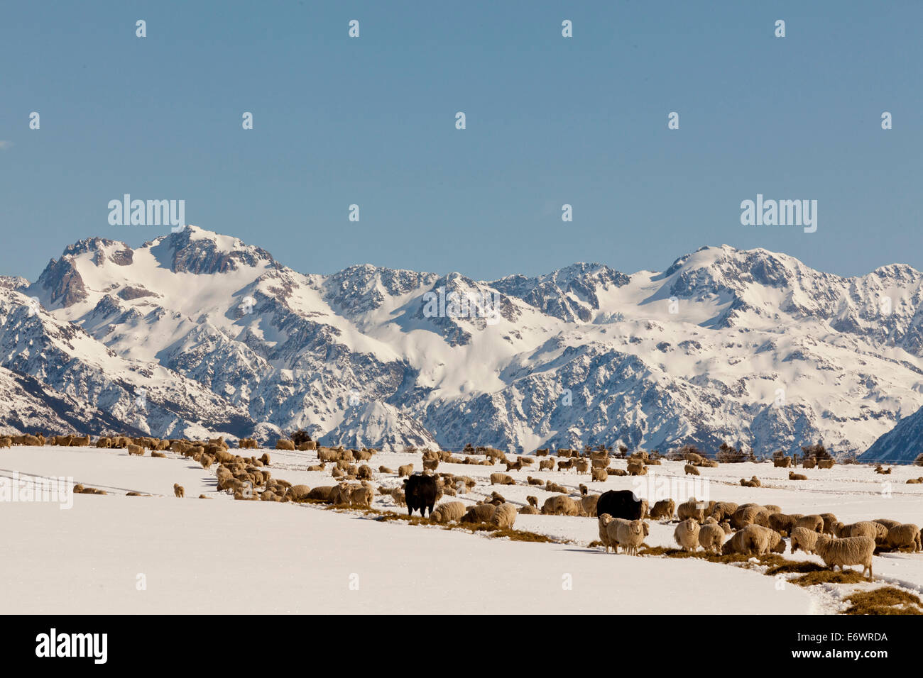 Livestock with winter feed at Arthurs Pass, herd of sheep and cattle in snow, Southern Alps, South Island, New Zealand - Stock Image