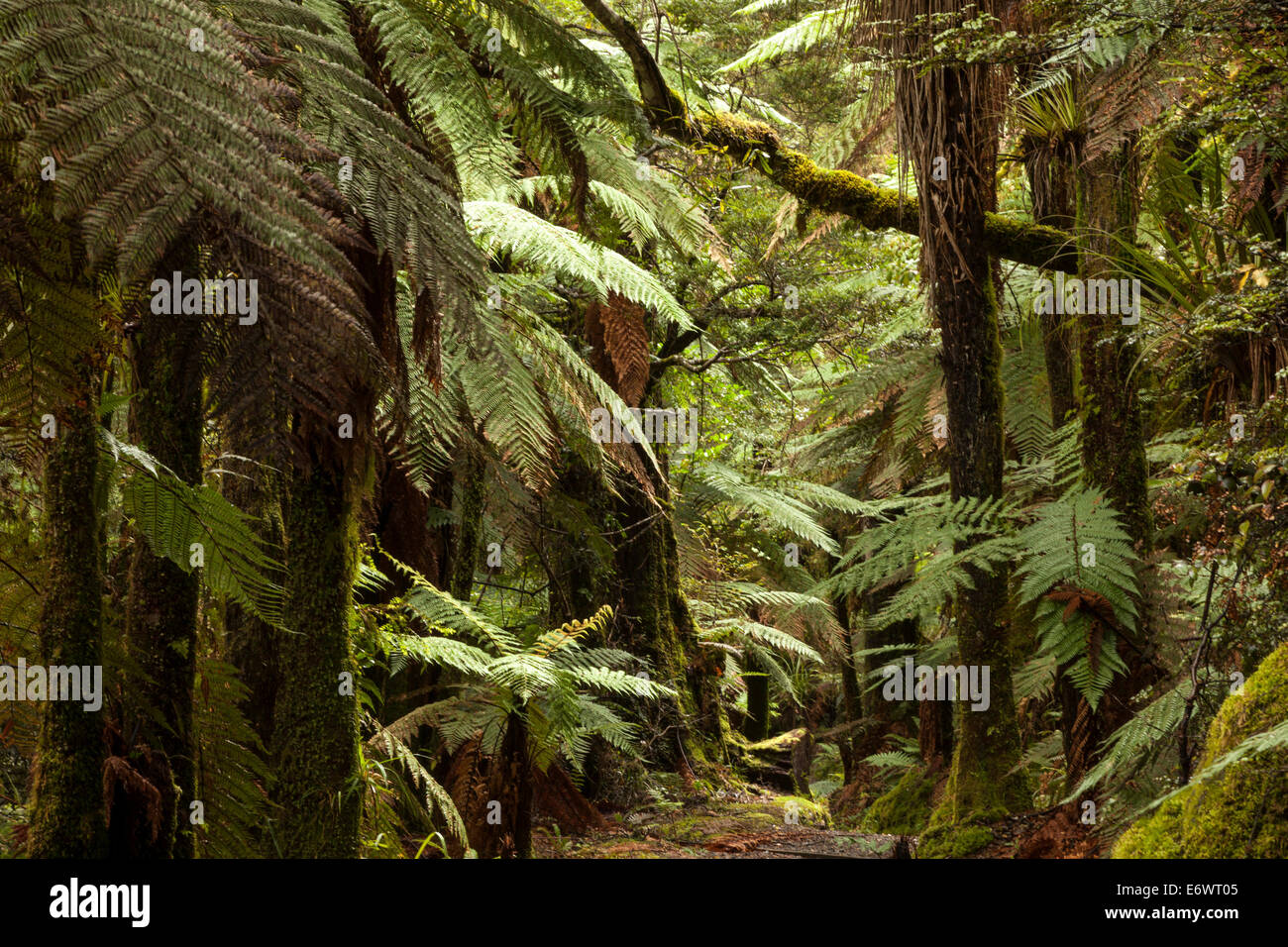 Primeval forest with tree ferns and moss covered podocarps, Children of the Mist, Lake Waikaremoana, Te Urewera - Stock Image