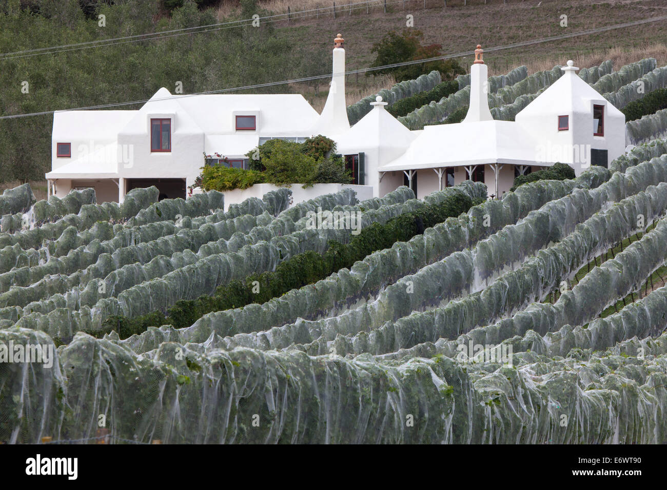Rows of vines covered in nets, Nets protect the grapes, Buck family home in the background from architect Athfield, - Stock Image