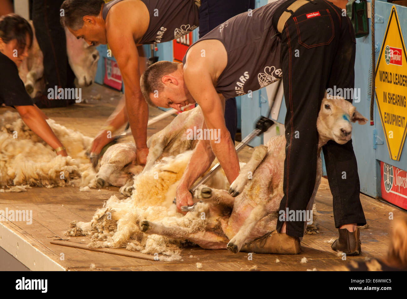Sheep Shearing Competition Masterton North Island New