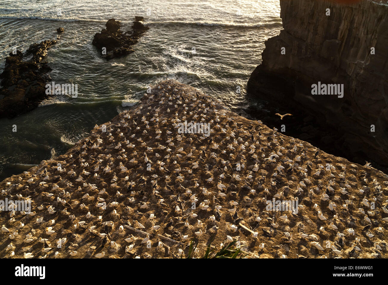 Close-up of gannet colony at Muriwai Beach, west coast near Auckland, North Island, New Zealand - Stock Image