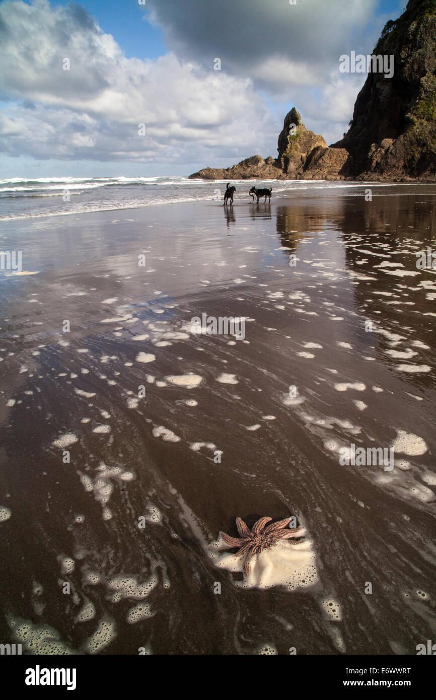 Starfish near Lion Rock on Piha Beach, Auckland, North Island, New Zealand Stock Photo