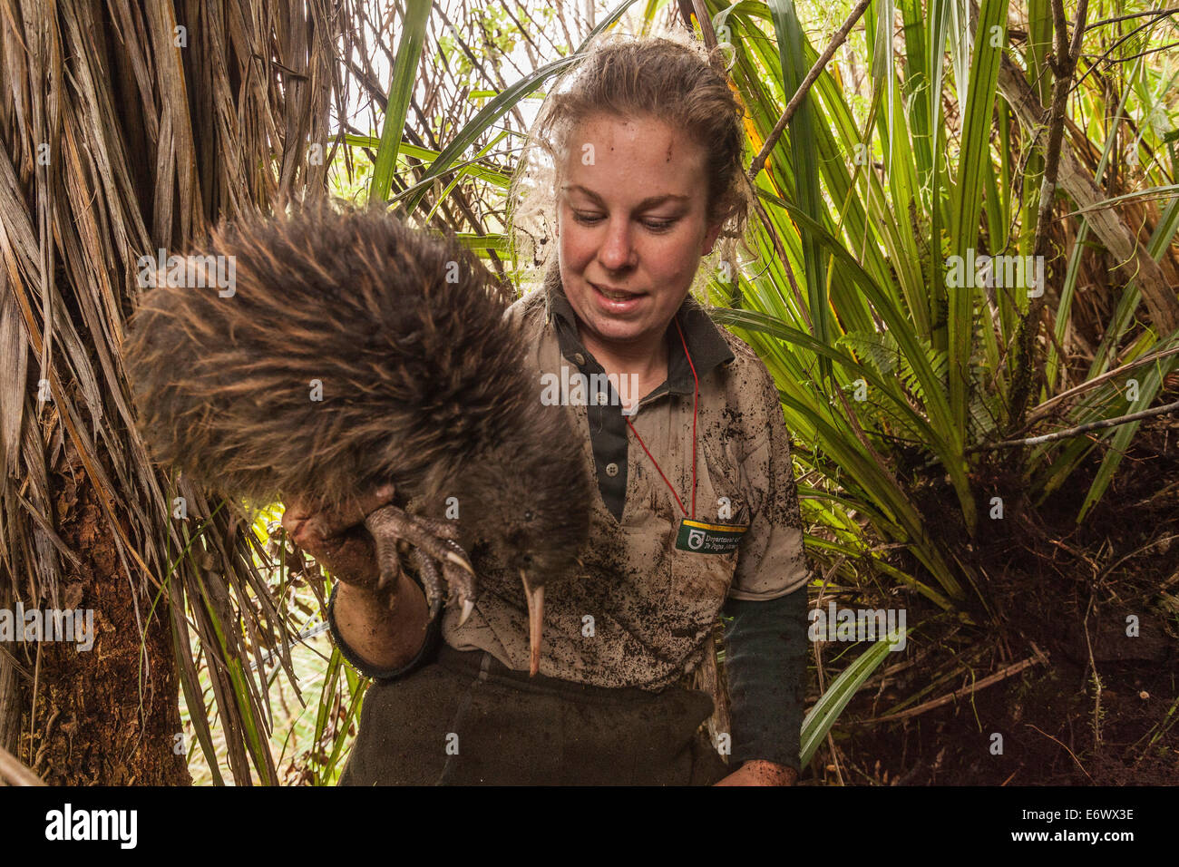 Kiwi caught by a DOC Ranger, dug out his burrow to change the transmitter, Tongariro National Park, North Island, - Stock Image