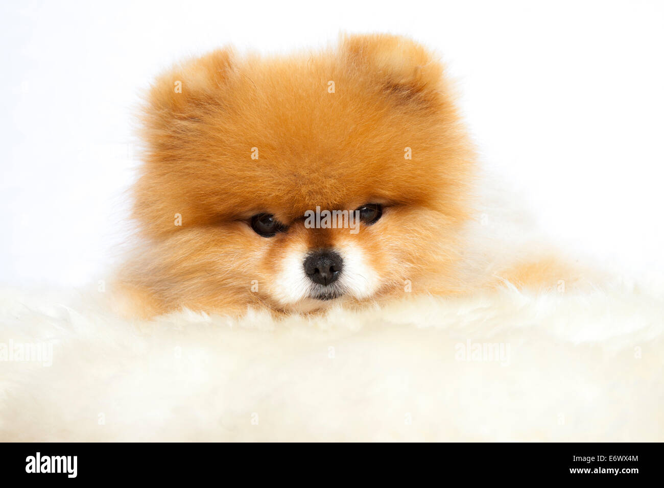 Pomeranian lying on a fur - Stock Image