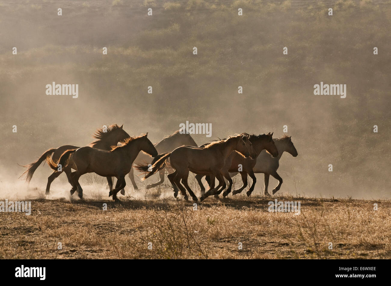 Wild Mustangs Sunset High Resolution Stock Photography And Images Alamy
