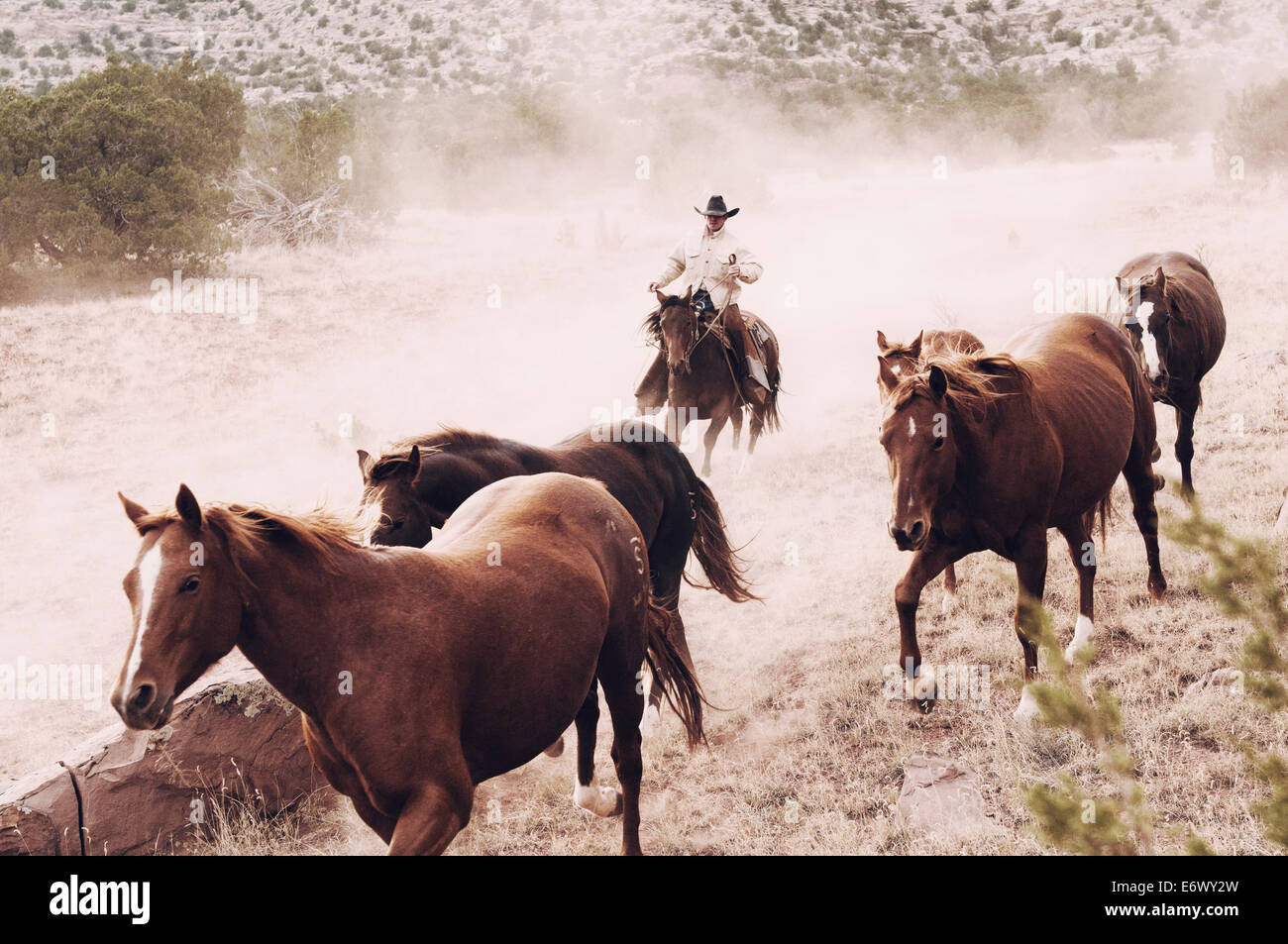 Cowboy runs herd of brood mare quarter horses on a New Mexico ranch toward the camera kicking up dust - Stock Image