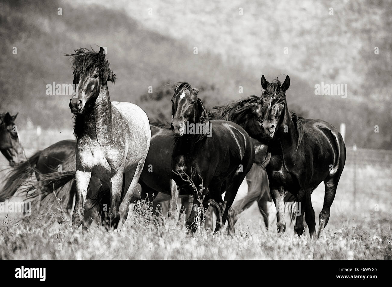 Black And White Image Of A Herd Of Wild Mustangs At Return To Freedom Stock Photo Alamy