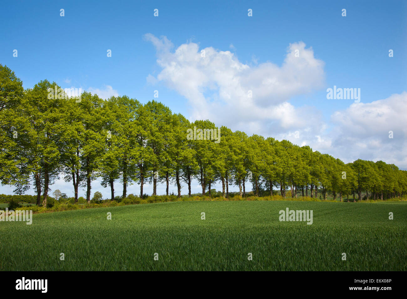 Alley of lime trees, Holsteinische Schweiz, Schleswig-Holstein, Germany - Stock Image