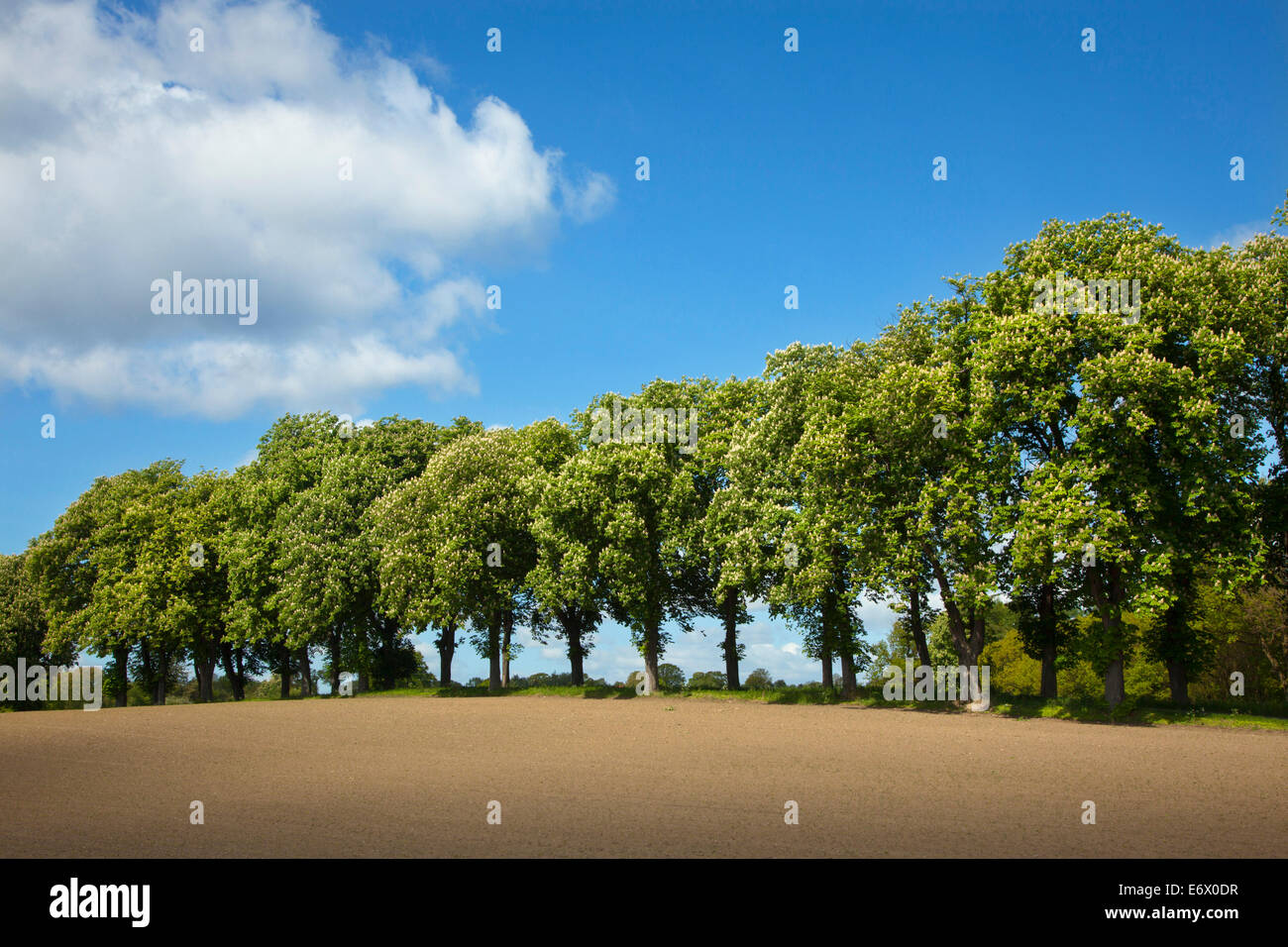 Alley of chestnut trees, Holsteinische Schweiz, Schleswig-Holstein, Germany - Stock Image