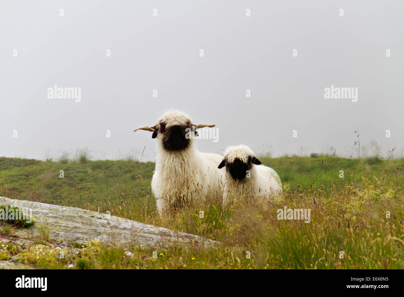 Valais Blacknose sheep, ewe with lamb, in a misty landscape - Stock Image