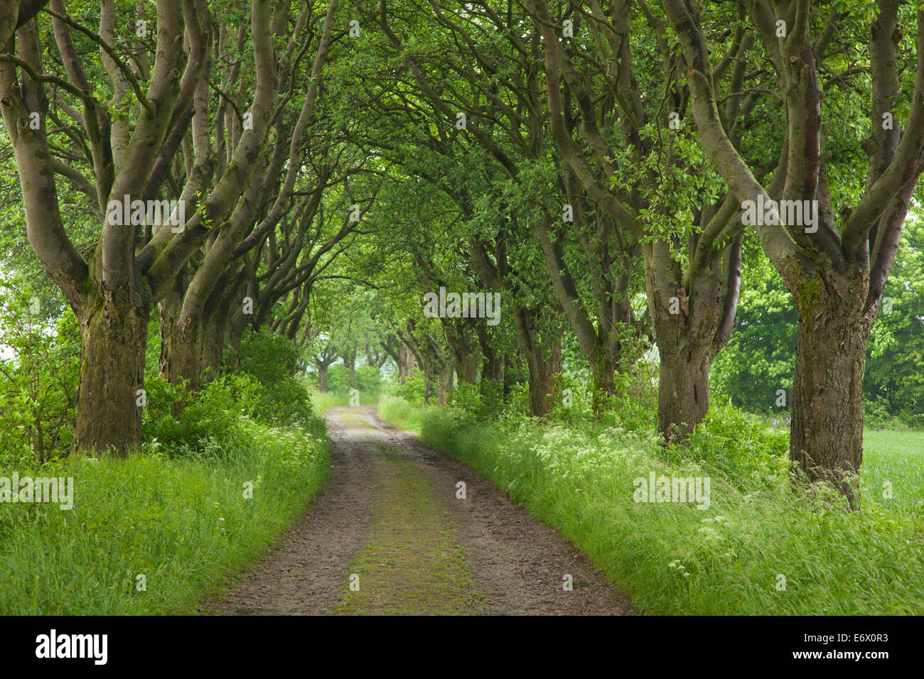 Alley of haw trees, near Kefferhausen, Thuringia, Germany - Stock Image