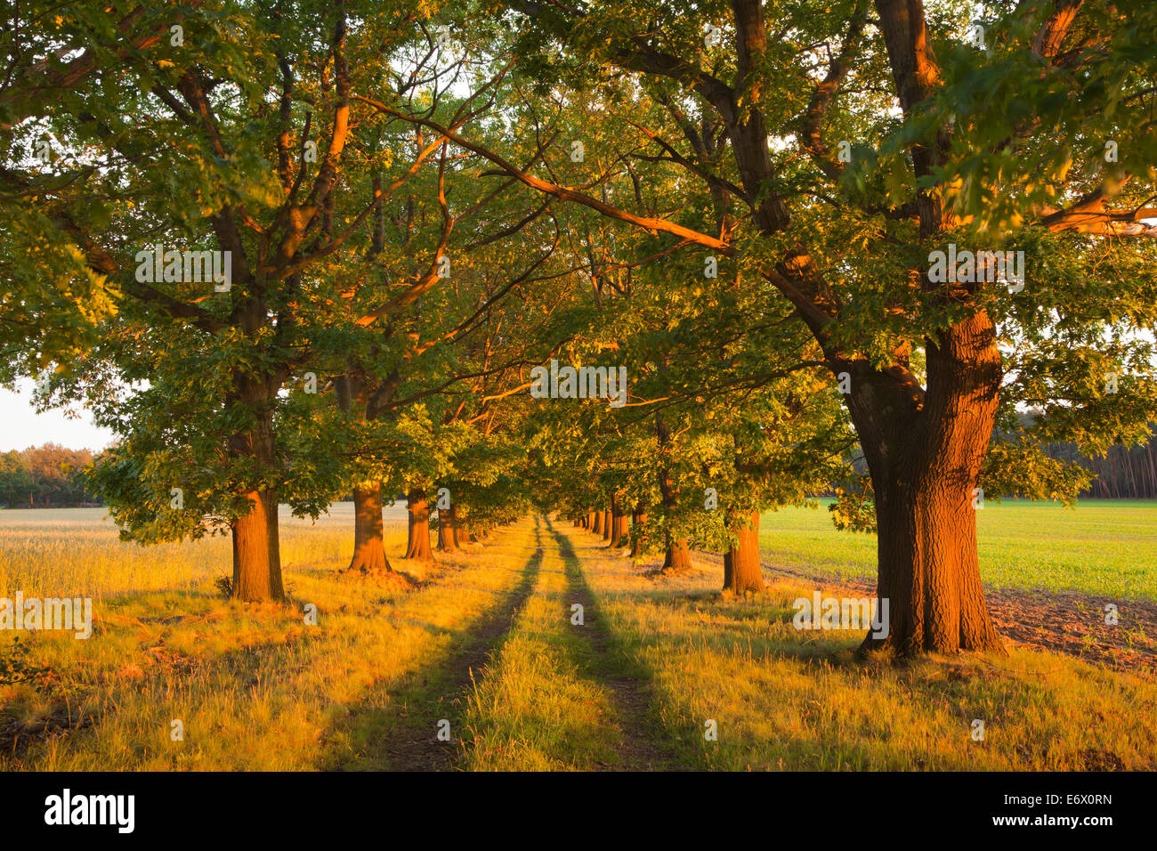 Alley of red oaks, Niederlausitz, Brandenburg, Germany Stock Photo