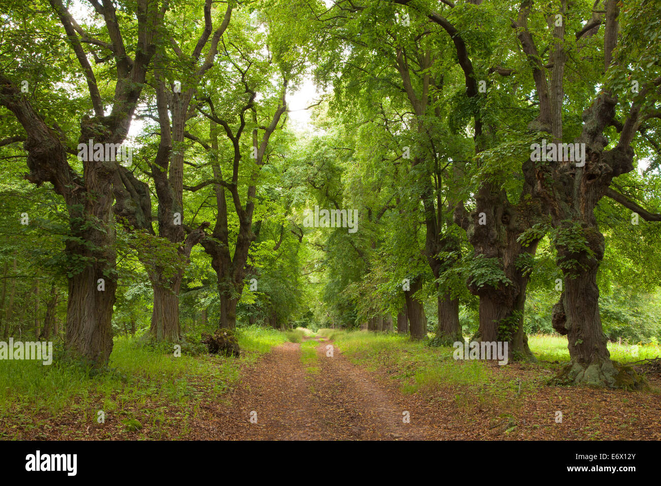 Alley of lime trees, Thuringia, Germany - Stock Image