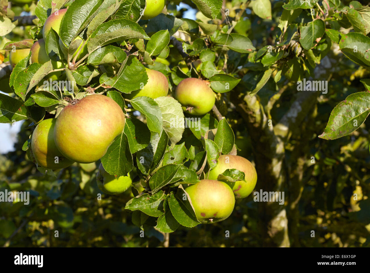 Bramley apples ripening on an old apple tree - Stock Image