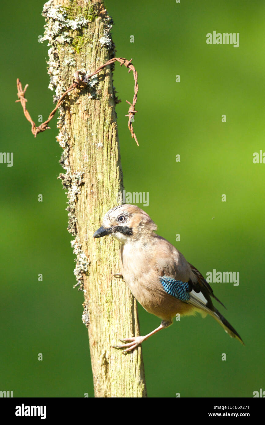 Jay poses for the camera while perched on the old fence post #3760 - Stock Image