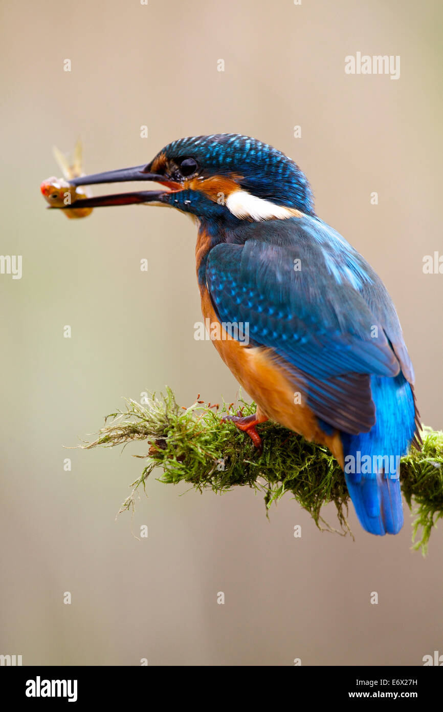 Kingfisher perched on moss covered twig with fish in beak #2727 - Stock Image