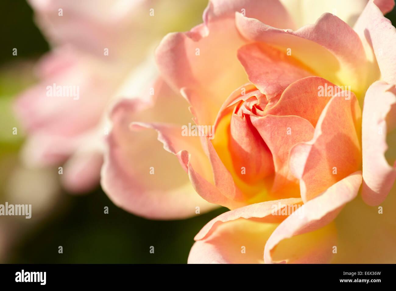 Peachy Yellow rose (rosa) - Stock Image