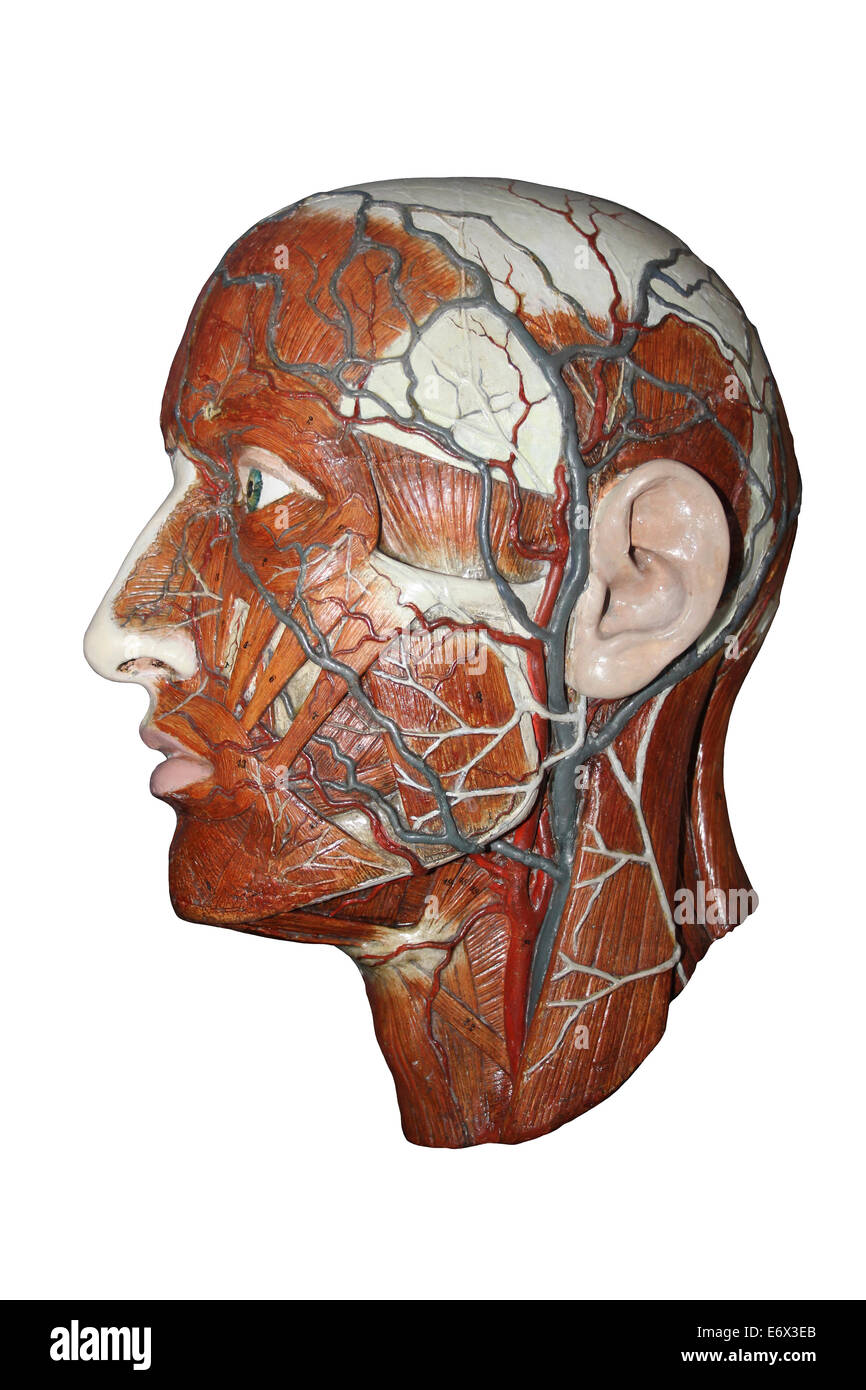 Anatomical Model Of The Human Head Showing Arteries And Veins Stock