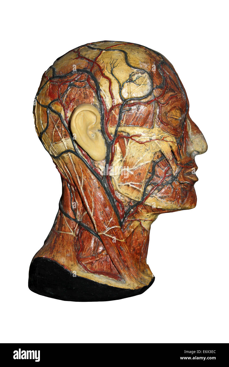 Anatomical Model Of The Human Head Showing Arteries And Veins - Stock Image