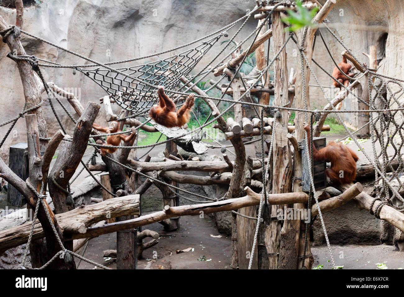 Sumatra orangutans, Pongoland, Zoo Leipzig, Saxony, Germany - Stock Image