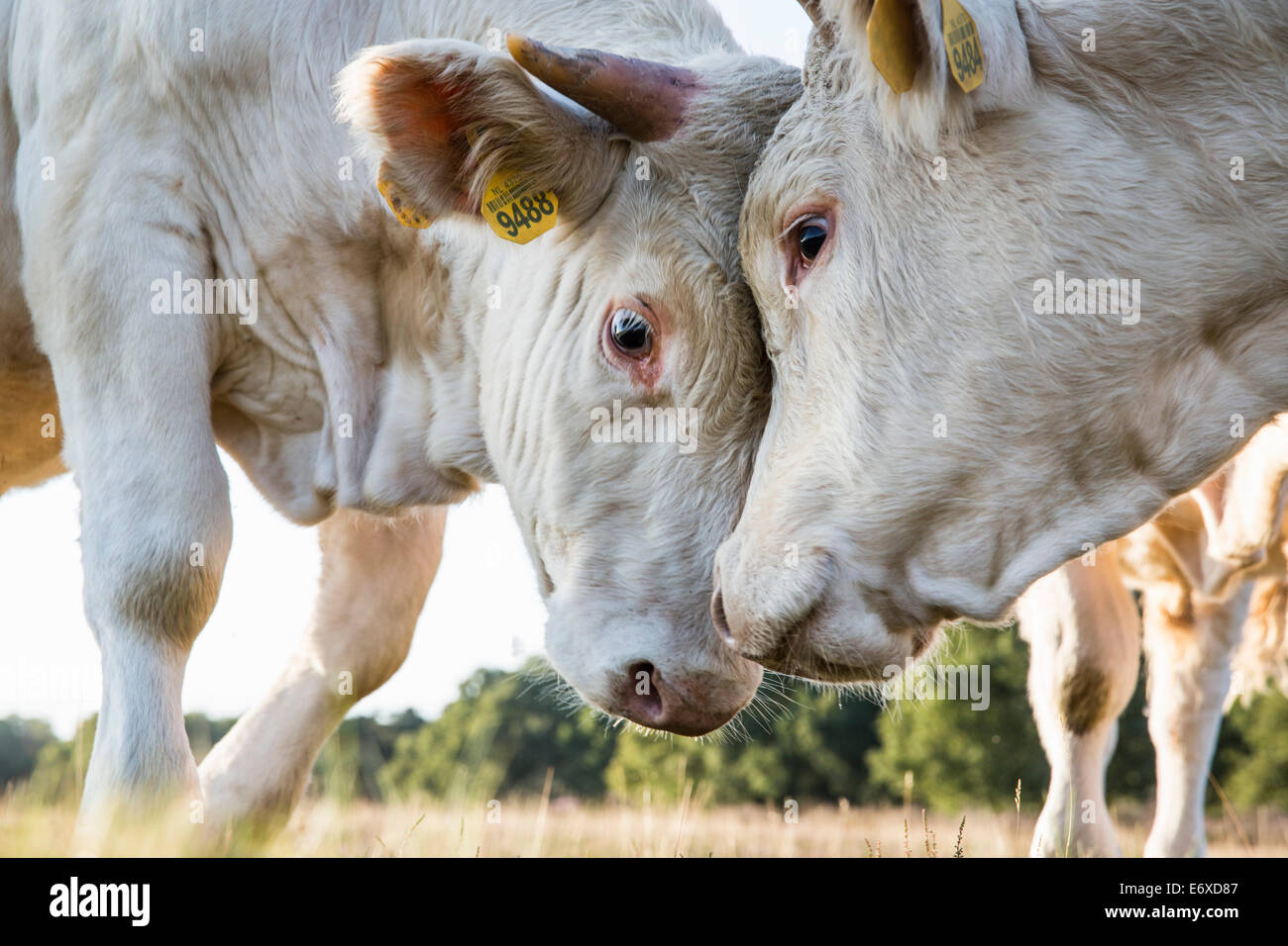 Netherlands, Blaricum, Heathland or moorland called Tafelbergheide. Charolais cattle. Young bulls challenging each - Stock Image