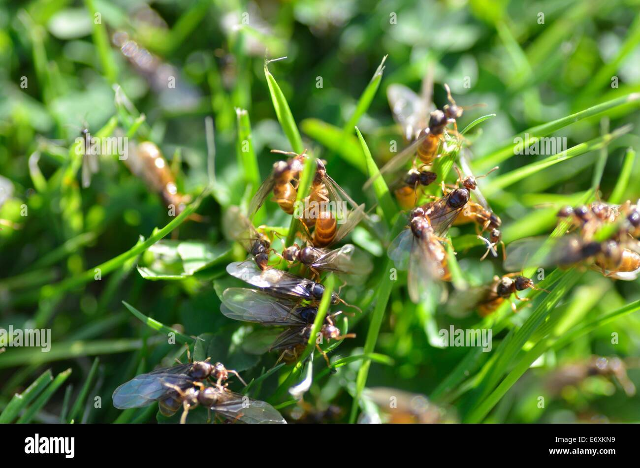 Swarming Ants High Resolution Stock Photography And Images Alamy