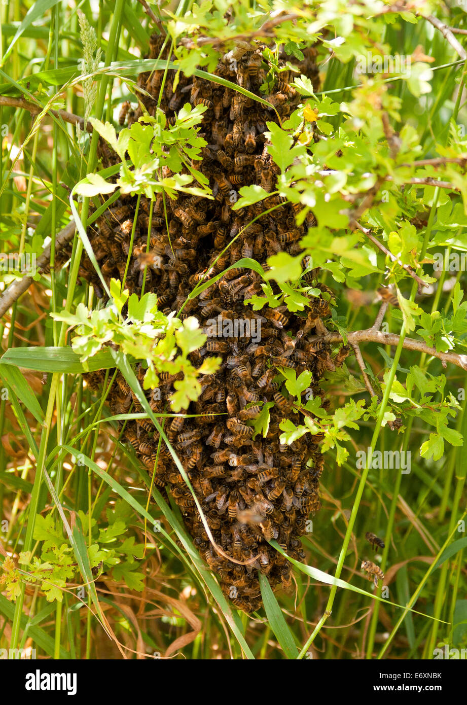 Honey Bees swarming in a Hawthorn Hedge at Hainford, Norfolk, UK - Stock Image